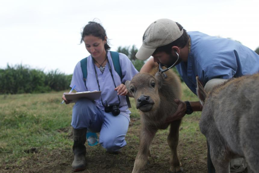 Mariacamila Garcia Estrella shown in the field with another vet examining a young buffalo